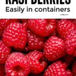 How To Grow Raspberries In Containers And Pots