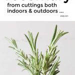 How To Grow Rosemary From Cuttings Indoors And Outdoors