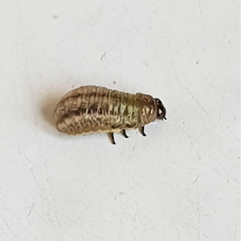 Rosemary Beetle Larvae