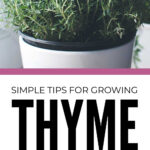 Growing Thyme Indoors And Outdoors In Pots