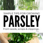 How To Grow Parsley From Seeds, Clippings And Scraps