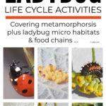Ladybug Lifecycle Activities For Kids