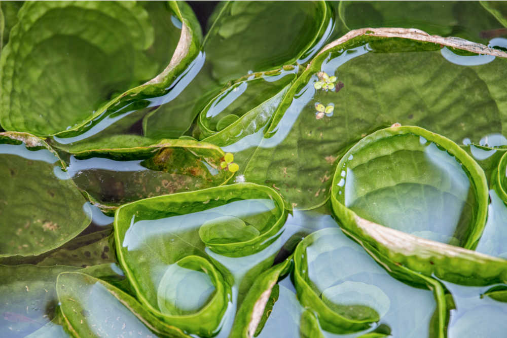 Natural Mosquito Repellents For Ponds