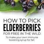 How To Pick Elderberries To Make Syrup
