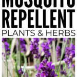 Mosquito Repellent Plants And Herbs